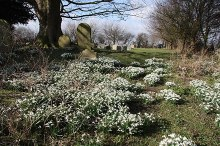 Stallingborough, Snowdrops in St.Peter & St.Paul's churchyard, Lincolnshire © Richard Croft